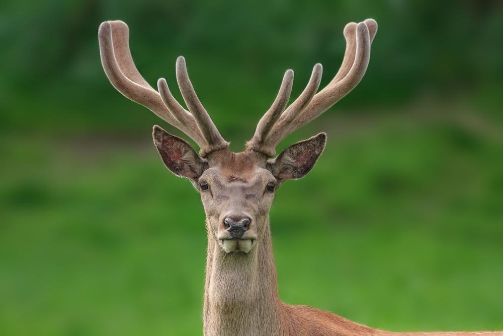 Deer Antler Velvet Overview