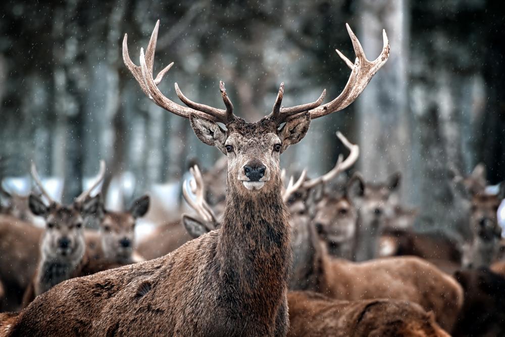 Deer Antler Velvet Harvesting